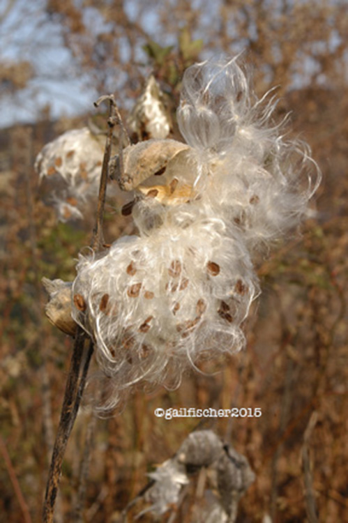 snake milkweed copyr